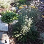 Achillea millefolium var. californica